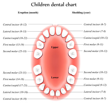 Tooth Eruption Chart - Pediatric Dentist in Cherry Hill, Swedesboro, and Princton, NJ